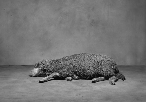 Sheep, 2003 © Ivan Pinkava